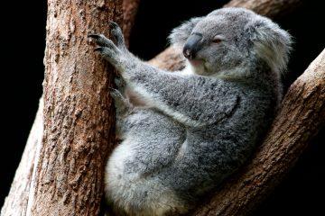 Ausztráliában drónokkal mérik fel a koala populációt.