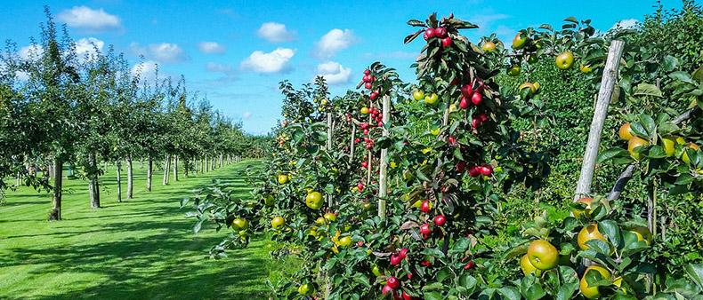 drón felvétel a gyümölcsösökben